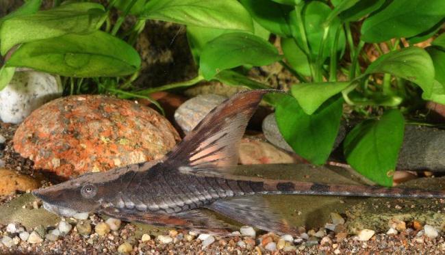 кольчужный сомик стурисома панамская плавает в аквариуме
