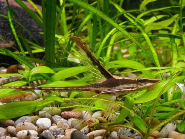 аквариумный сом стурисома панамская