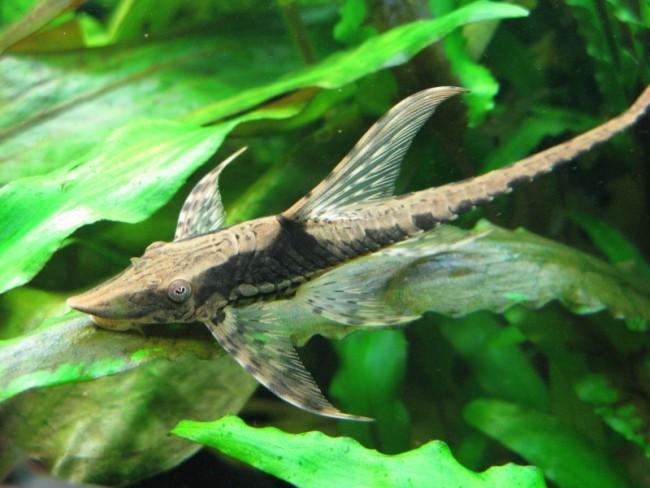 сом панамская стурисома плавает в аквариуме среди растений
