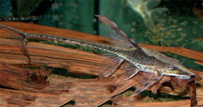 аквариумный сом панамская стурисома