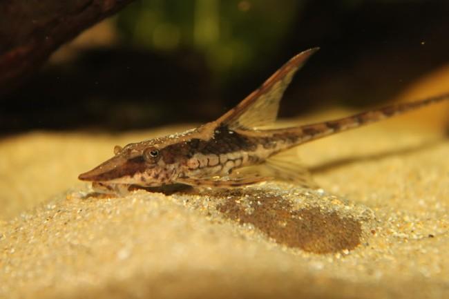 сомик стурисома панамская плавает у песчаного дна в аквариуме