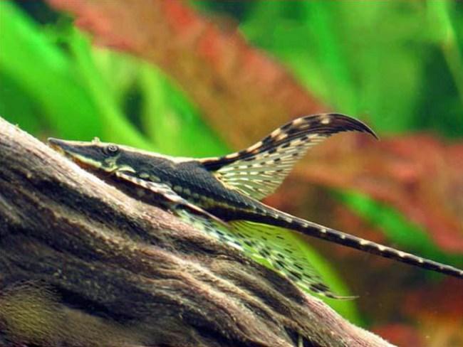 стурисома панамская плавает у коряги в аквариуме
