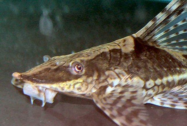 аквариумный сомик стурисома панамская