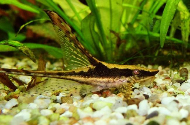 рыбка стурисома панамская плавает в аквариуме