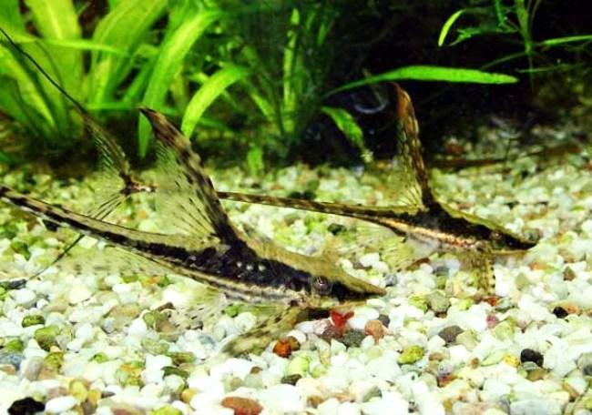 сомы стурисомы панамские плавают у дна в аквариуме