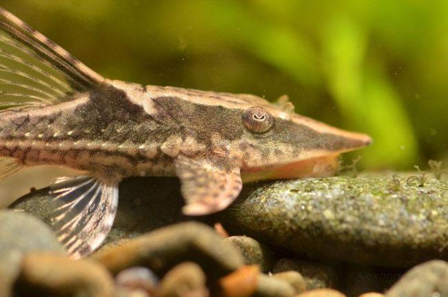 панамская стурисома в аквариуме