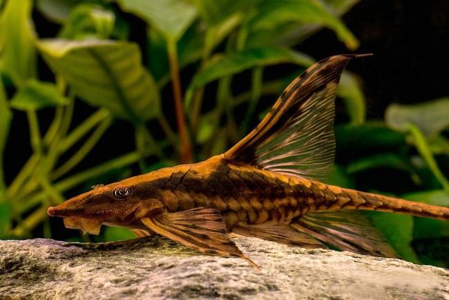 сом панамская стурисома плавает в аквариуме