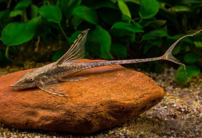 лорикариевый сомик стурисома панамская плавает в аквариуме
