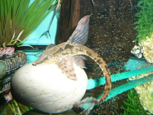лорикариевый сомик стурисома панамская в аквариуме