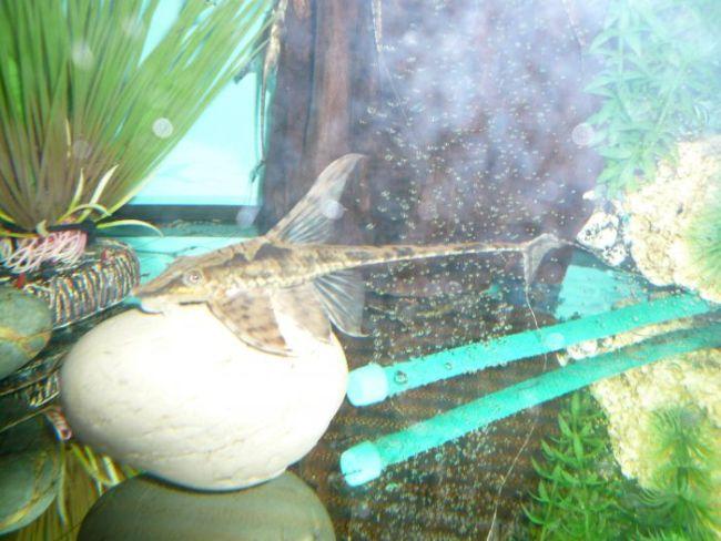 лорикариевый сом панамская стурисома в аквариуме