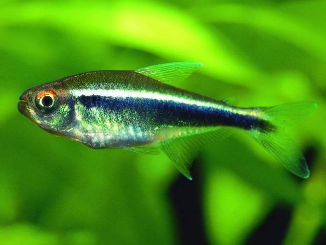 тропическая рыбка черный неон