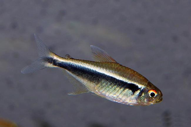 миролюбивая рыбка черный неон