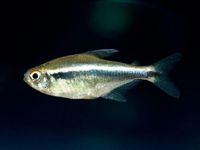 рыбка семейства харациновых черный неон в аквариуме