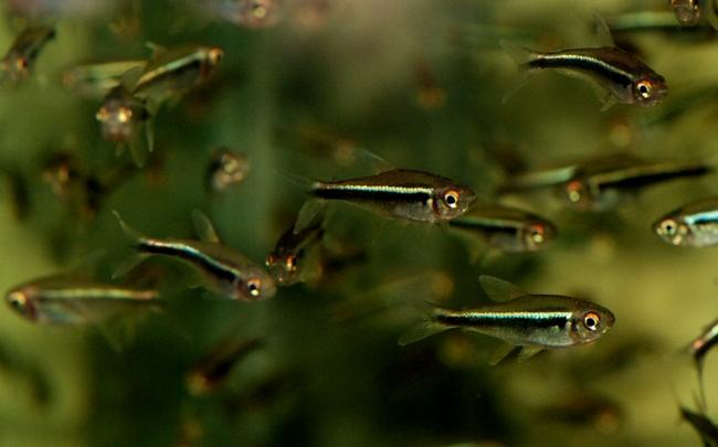 рыбки семейства харациновых черные неоны плавают в аквариуме