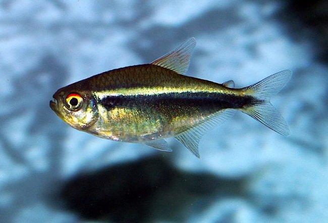 миролюбивая рыбка черный неон в аквариуме