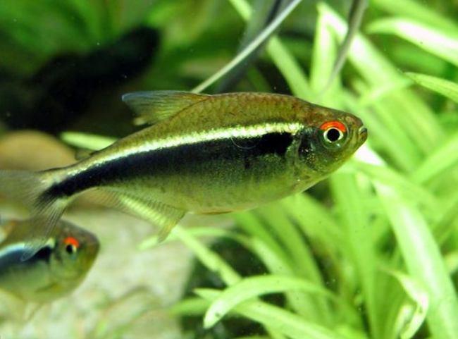 миролюбивая рыбка черный неон плавает в аквариуме