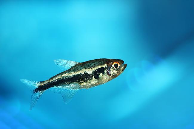 рыбка черный неон