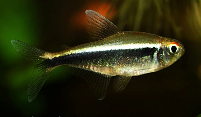 рыбка семейства харациновых черный неон плавает в аквариуме