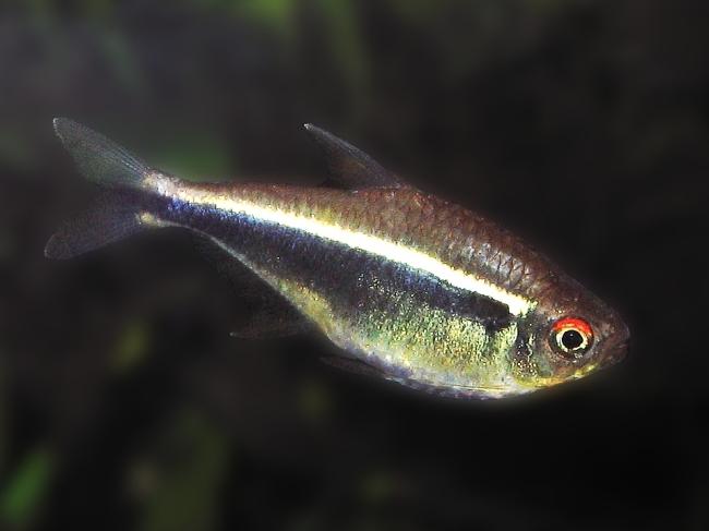 миролюбивая тропическая рыбка черный неон