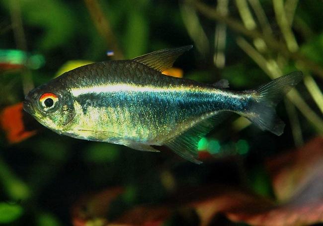 неон черного цвета плавает в аквариуме