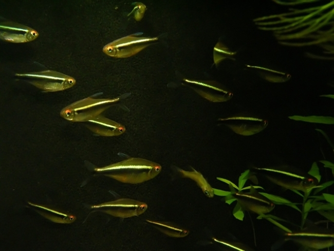 рыбки семейства харациновых черные неоны