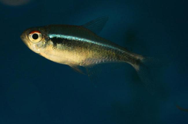 аквариумная рыбка семейства харациновых черный неон