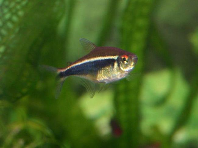 тропическая рыбка черный неон в аквариуме