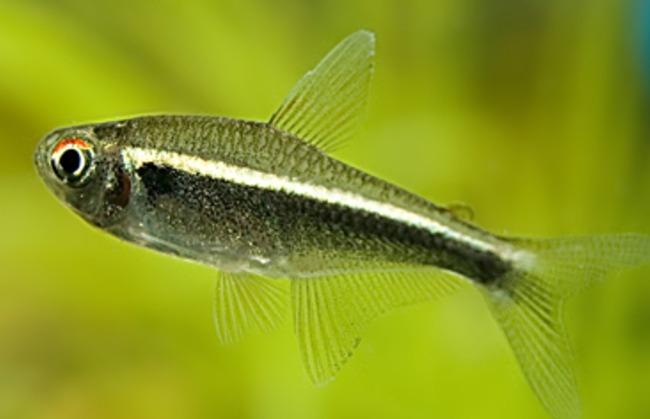 рыбка семейства харациновых черный неон