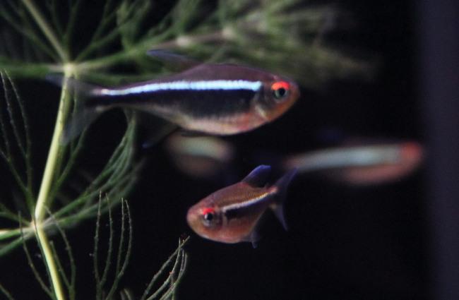 рыбки семейства харациновых черные неоны в аквариуме