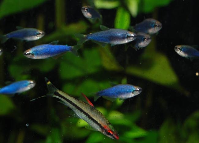 фиолетовые неоны в аквариуме с другими рыбками