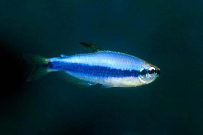 аквариумная рыбка фиолетовый неон или ложная королевская тетра