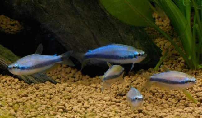 аквариумные рыбки фиолетовые неоны