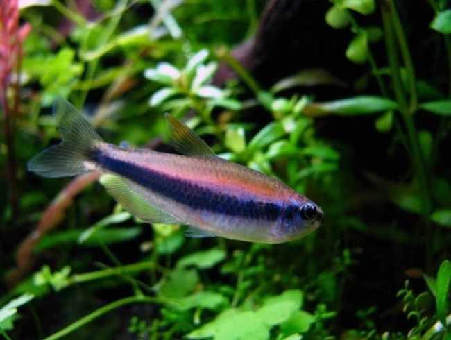 фиолетовый неон или ложная королевская тетра на фоне растений в аквариуме