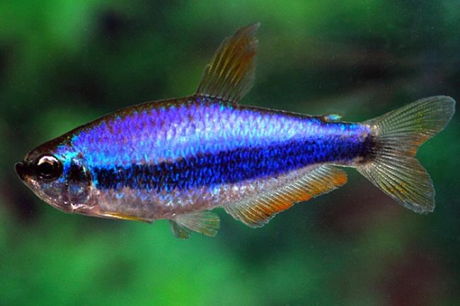 фиолетовый неон или ложная королевская тетра в аквариуме