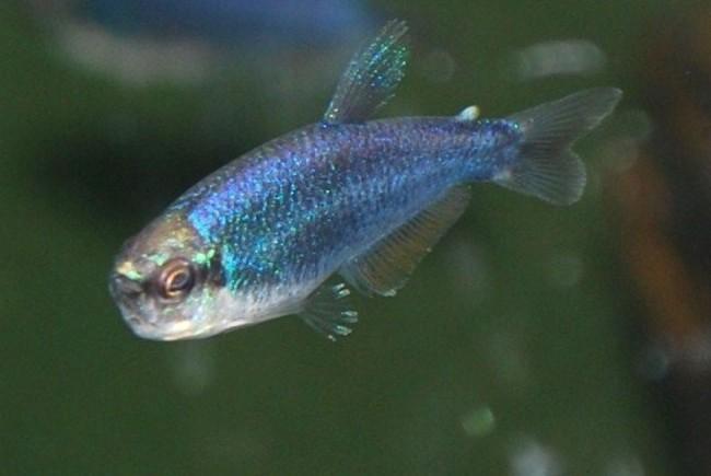 фиолетовый неон или керри в аквариуме