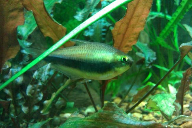 фиолетовый неон в аквариуме