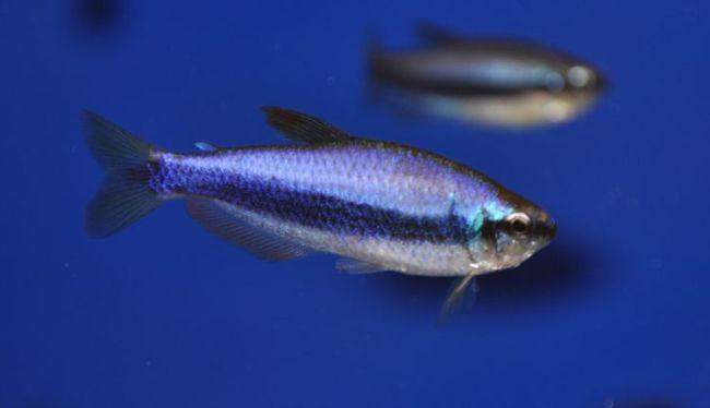 фиолетовые неоны плавают в аквариуме
