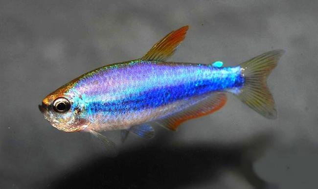 аквариумная рыбка фиолетовый неон