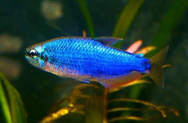 фиолетовый неон или ложная королевская тетра плавает в аквариуме