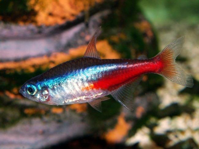 миролюбивая рыбка неон голубой