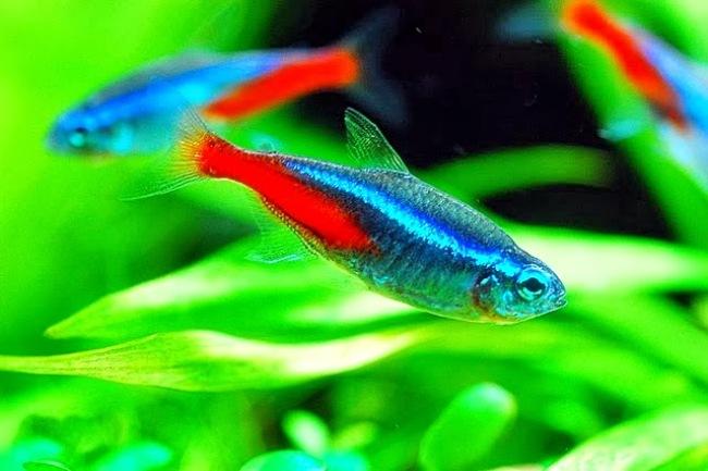 голубые неоны плавают в аквариуме