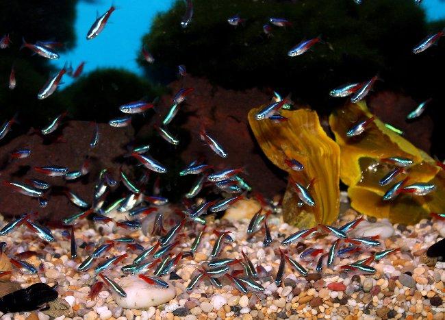 рыбки голубые неоны