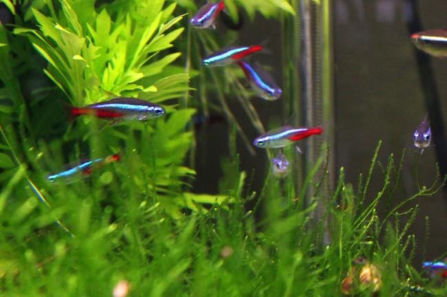 неоны обыкновенные или голубые