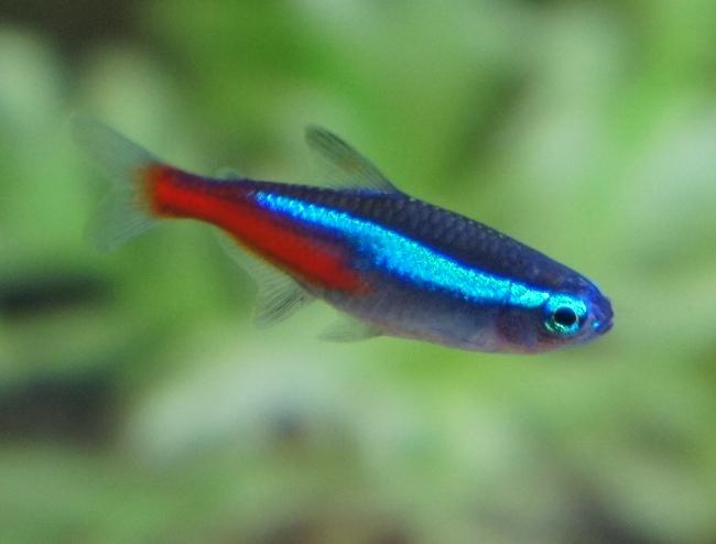 миролюбивая рыбка неон обыкновенный