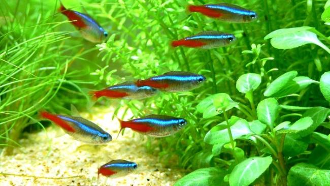 неоны обыкновенные или голубые в аквариуме