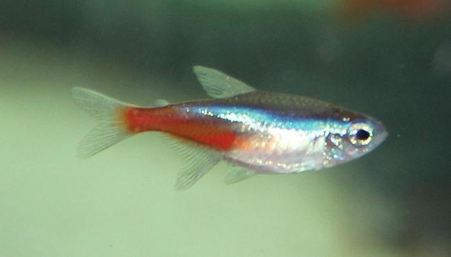 миролюбивая рыбка голубой неон в аквариуме