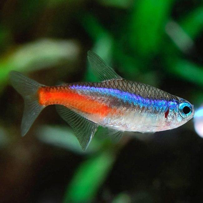 рыбка неон обыкновенный в аквариуме