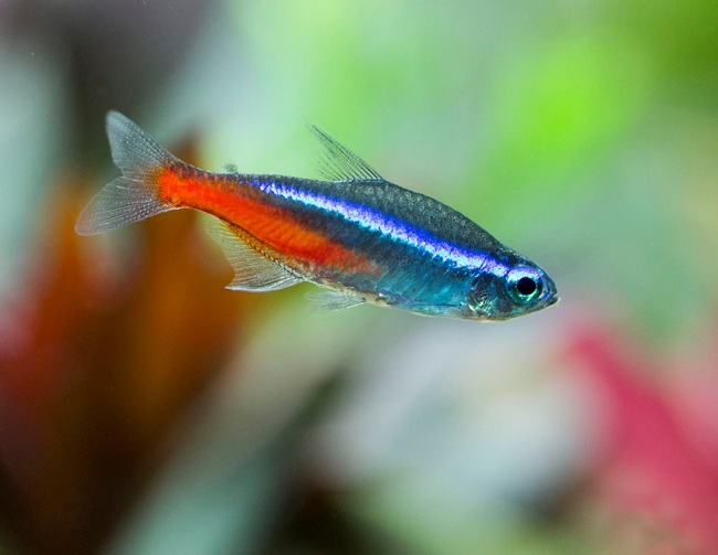 миролюбивая рыбка неон обыкновенный или голубой