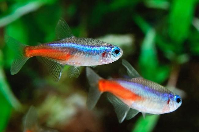 пара рыбок неон обыкновенный