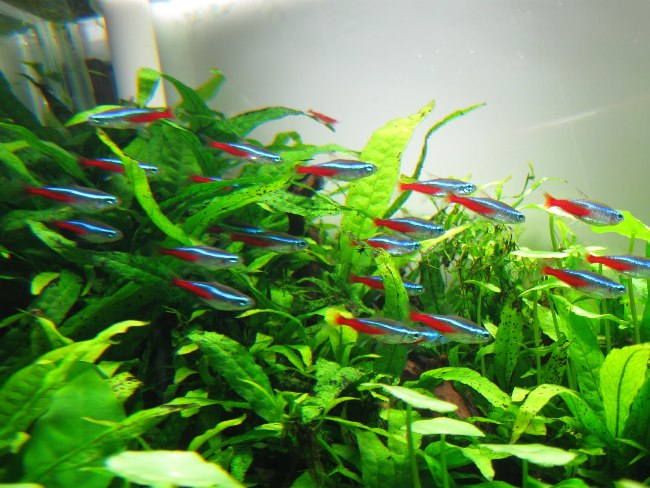 стайка голубых неонов в аквариуме